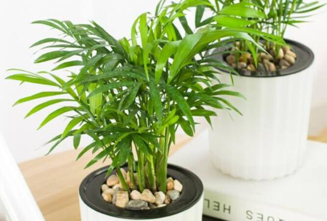 袖珍椰子开花吗?如何养护才会开花?